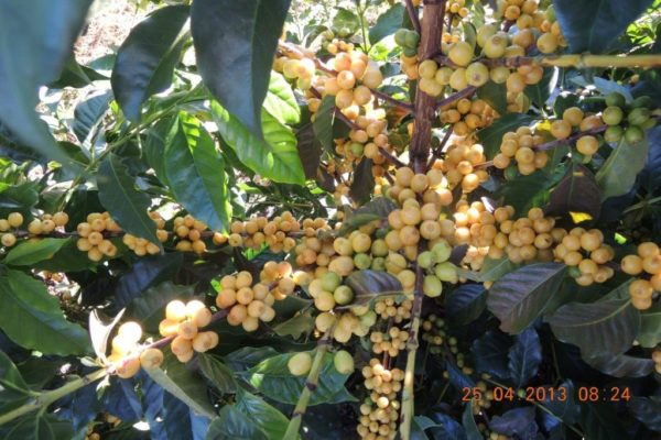 Brazil Coffee Cherries