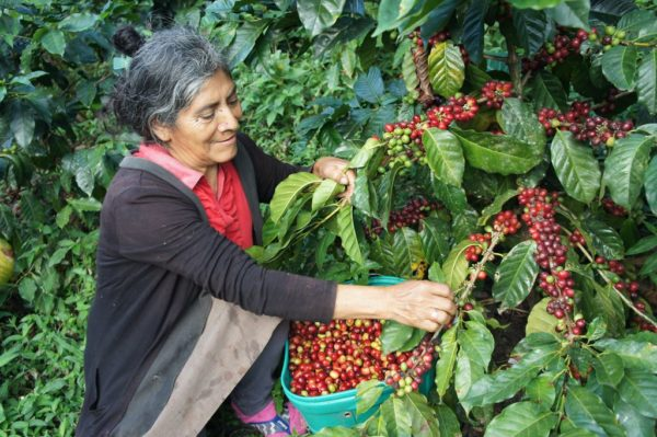 Peru coffee picking
