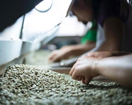 Sulawesi Coffee Sorting